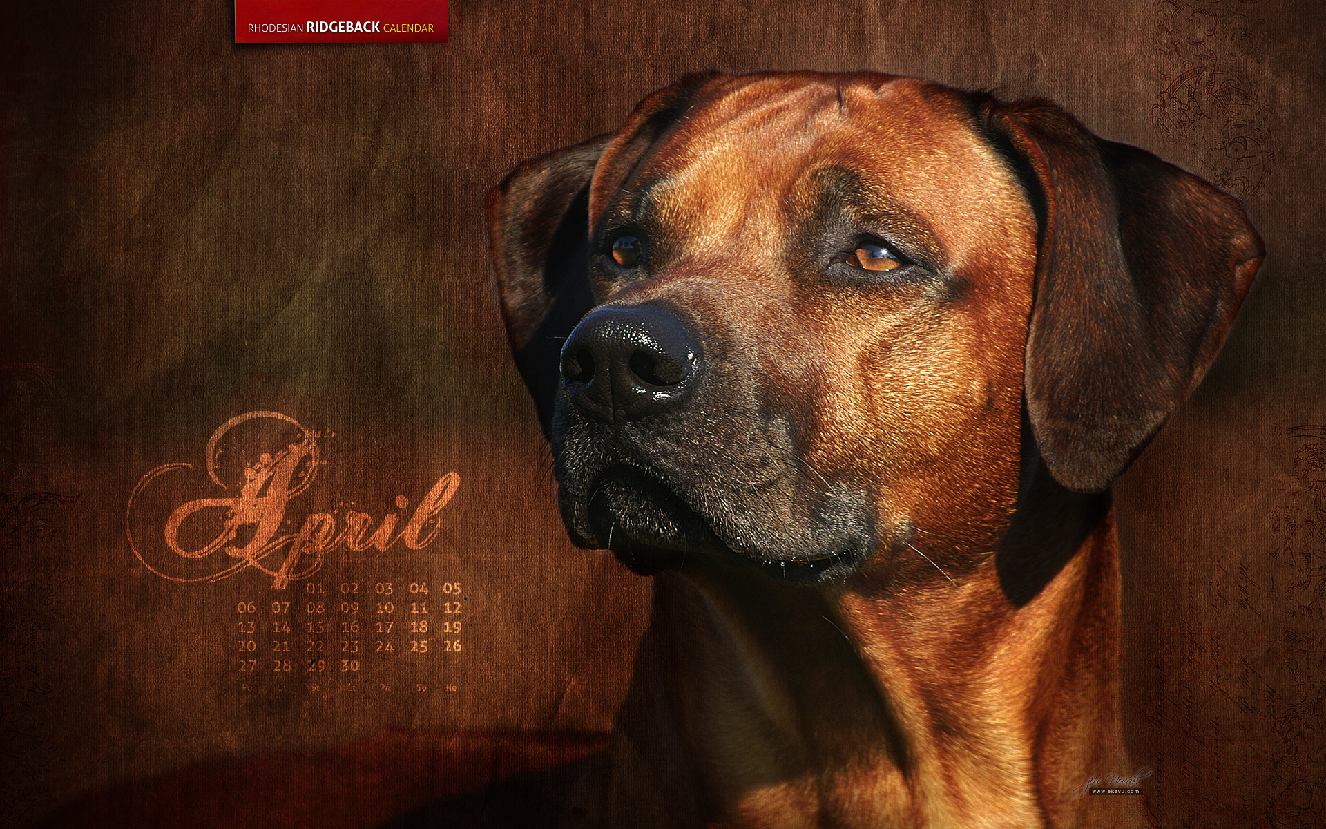 Rhodesian Ridgeback Pitbull Mix Puppies For Sale   Dog Breeds Picture